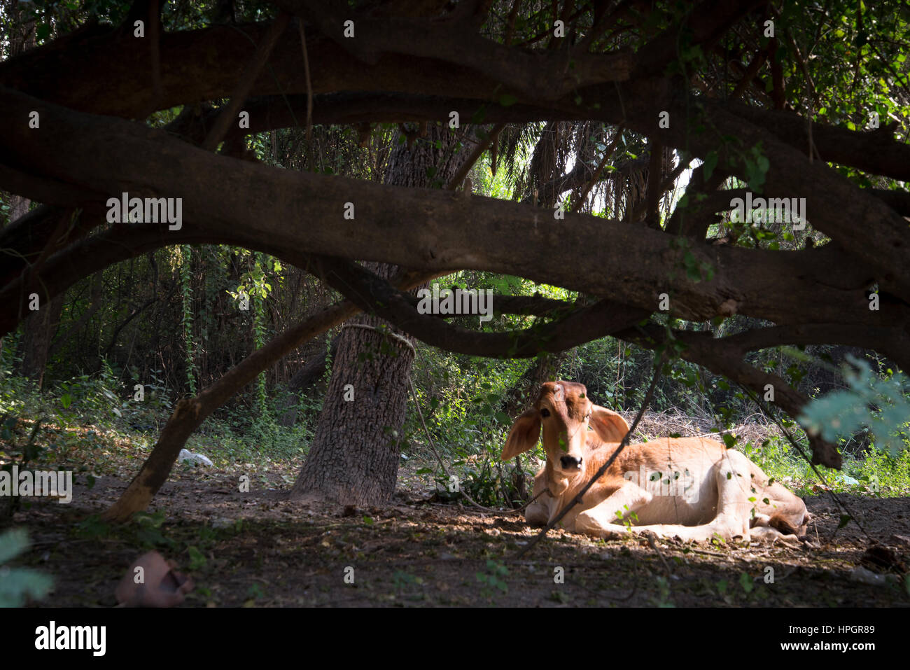 Calf lying in a forest glade, India. Stock Photo