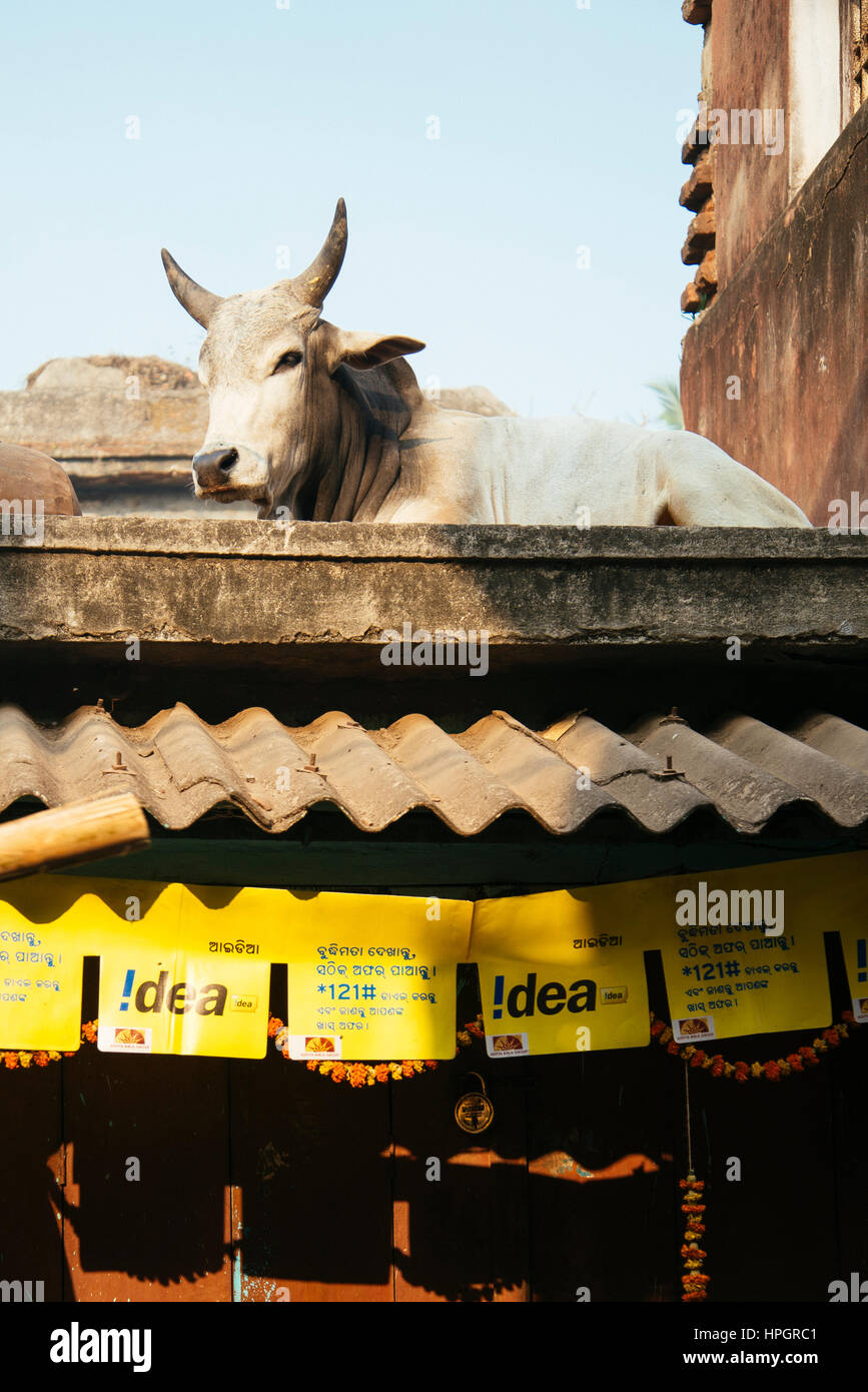Cow on phone shop roof, Puri, India. Stock Photo