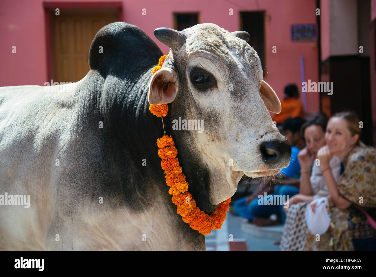 Temple cow and devotees, Puri, India. Stock Photo