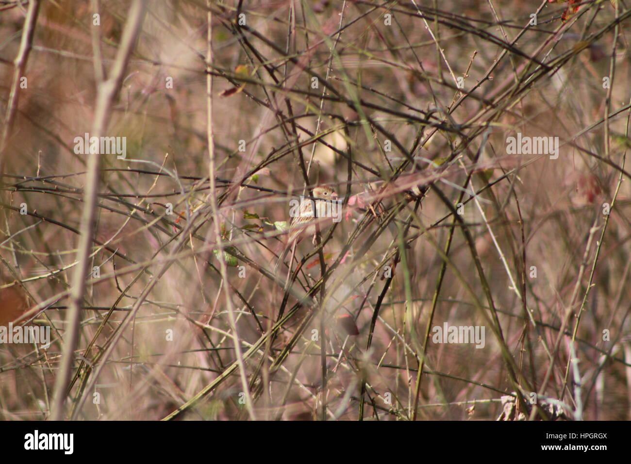 A hiding Field Sparrow  (Spizella pusilla) - Stock Image