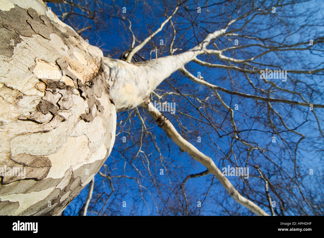 bottom to top horizontal view of a white tree trunk and branches with no leafs against a blue sky background - Stock Image