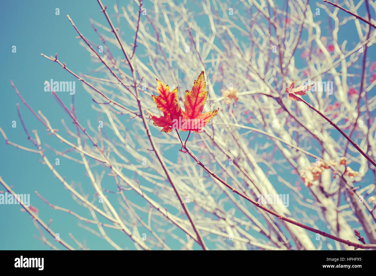 Retro stylized image of last leaves on a tree, selective focus, nature background. - Stock Image
