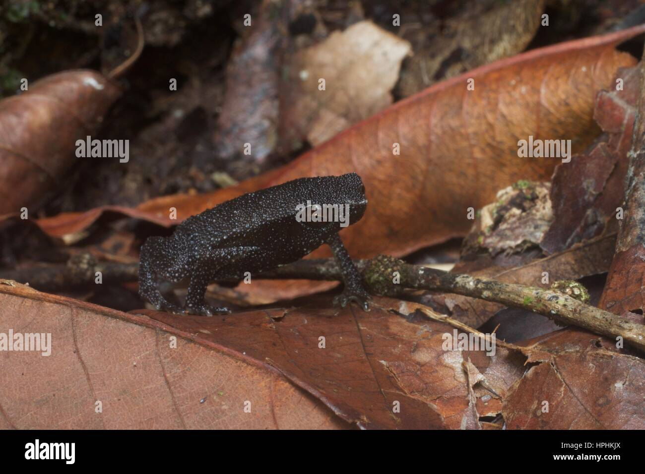 A sticky frog (Kalophrynus sp.) in the leaf litter at Kubah National Park, Sarawak, East Malaysia, Borneo - Stock Image