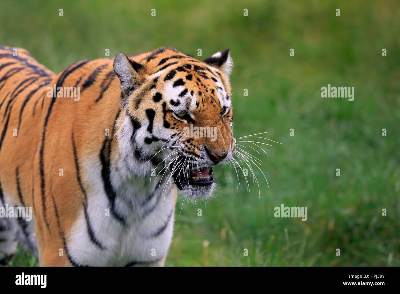 Siberian Tiger, (Panthera tigris altaica), adult snarling portrait, Asia - Stock Image
