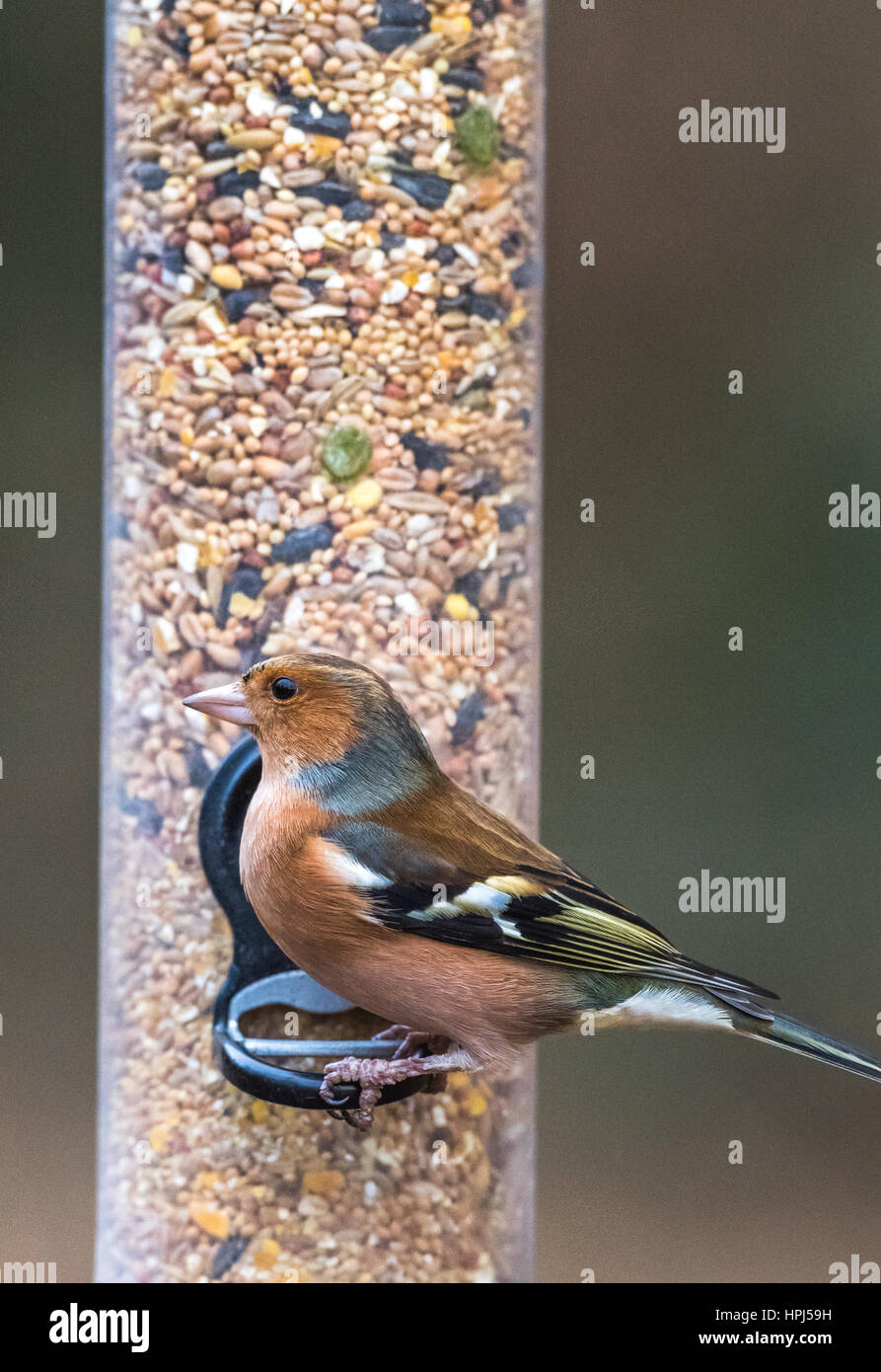 Adult Male Chaffinch searched on a bird feeder - Stock Image