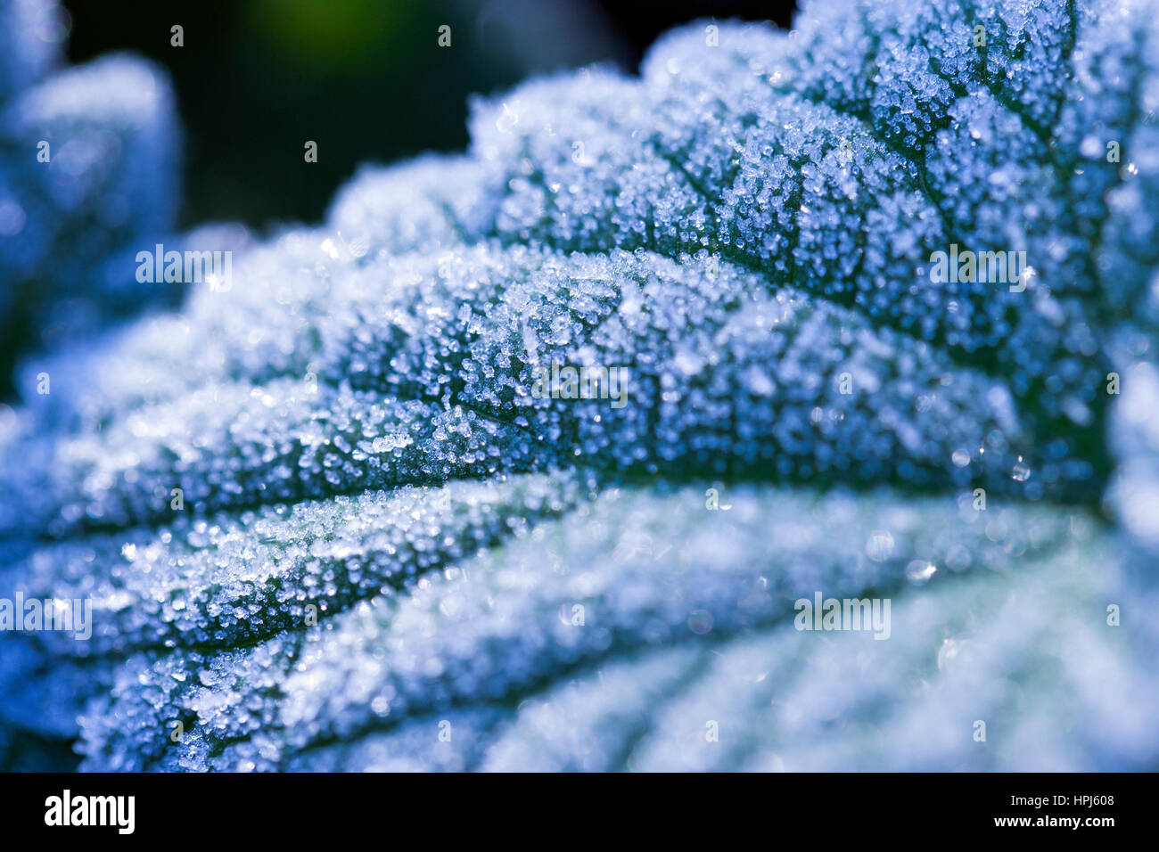 Frosted leaves - Stock Image