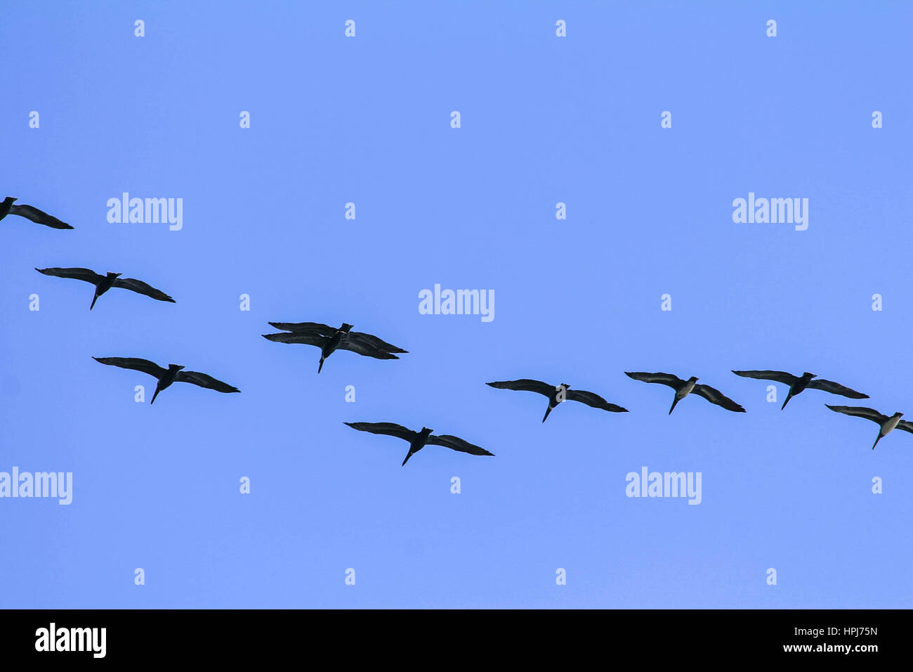 Formation of brown Pelicans flying against clear blue sky background - Stock Image