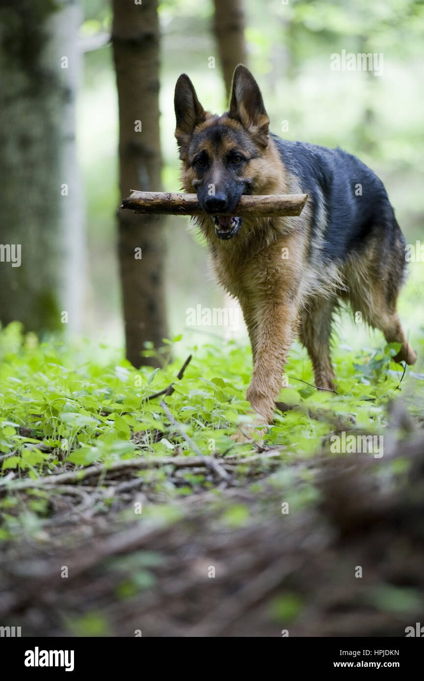 Schaeferhund apportiert Stock - sheepdog retrieves - Stock Image