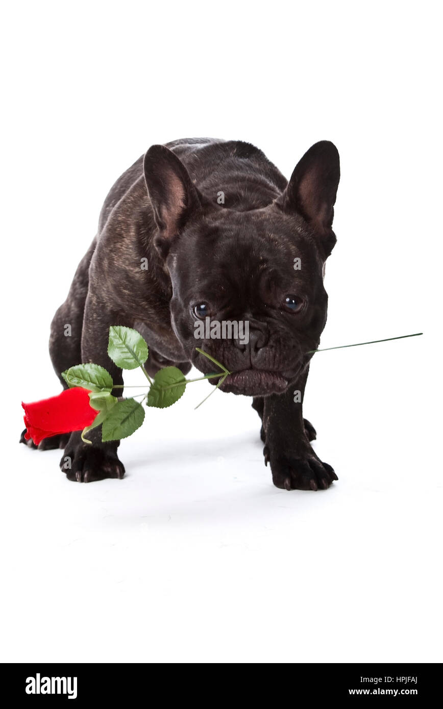Franzoesische Bulldogge mit Rose im Maul - French bulldog with red rose - Stock Image