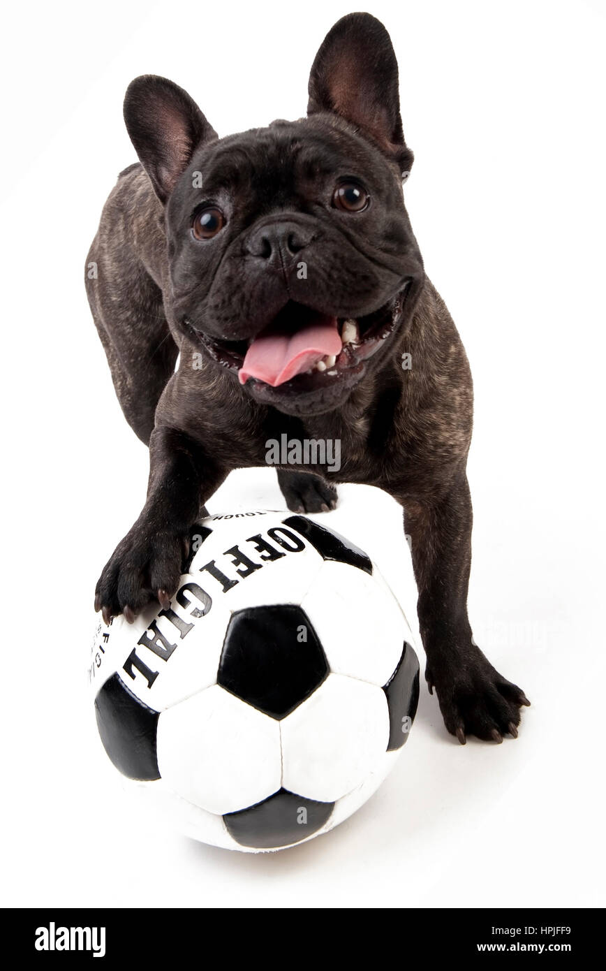 Franzoesische Bulldogge mit Fussball - French bulldog with soccer ball - Stock Image