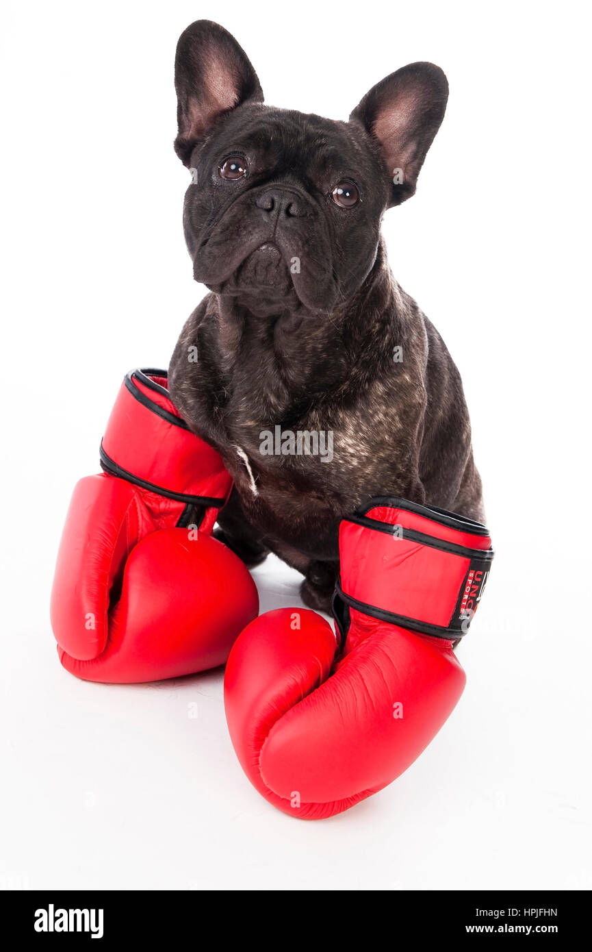 Franzoesische Bulldogge mit Boxhandschuhen - French bulldog with boxing gloves - Stock Image