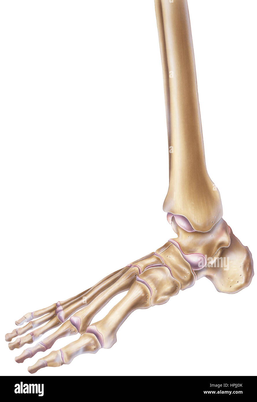A normal human foot and ankle showing the bones and joints Stock ...