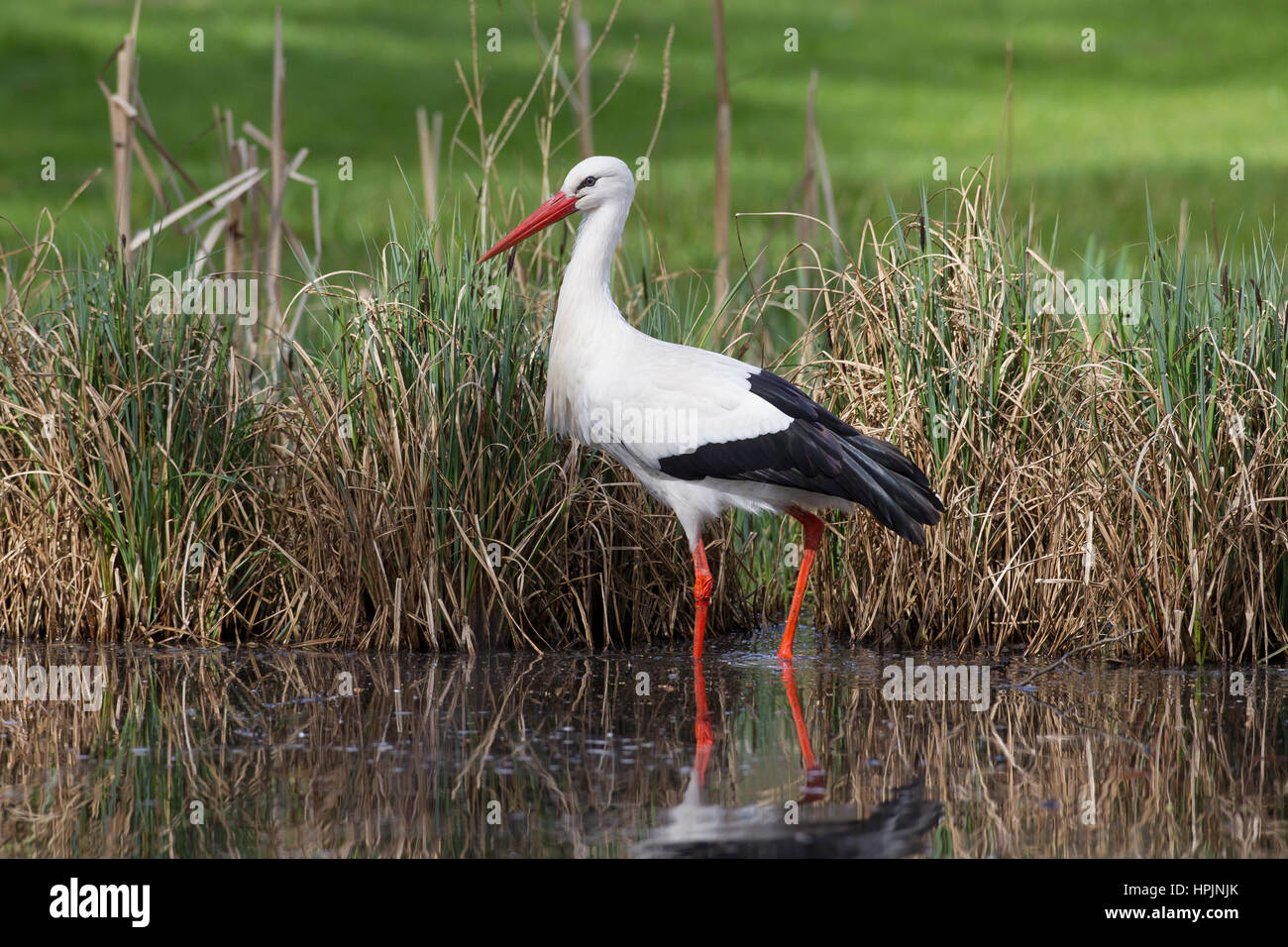 White stork (Ciconia ciconia) foraging in shallow water of brook - Stock Image