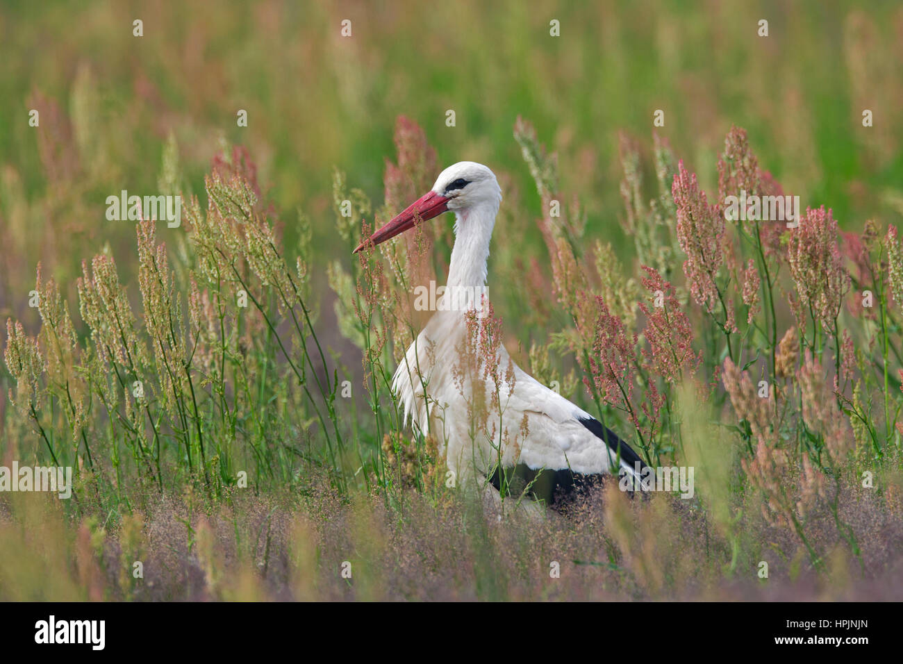 White stork (Ciconia ciconia) foraging in grassland in summer - Stock Image