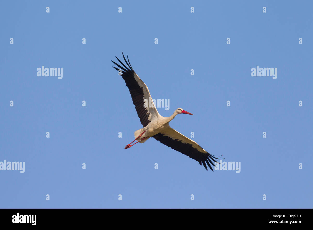 White stork (Ciconia ciconia) in flight against blue sky Stock Photo