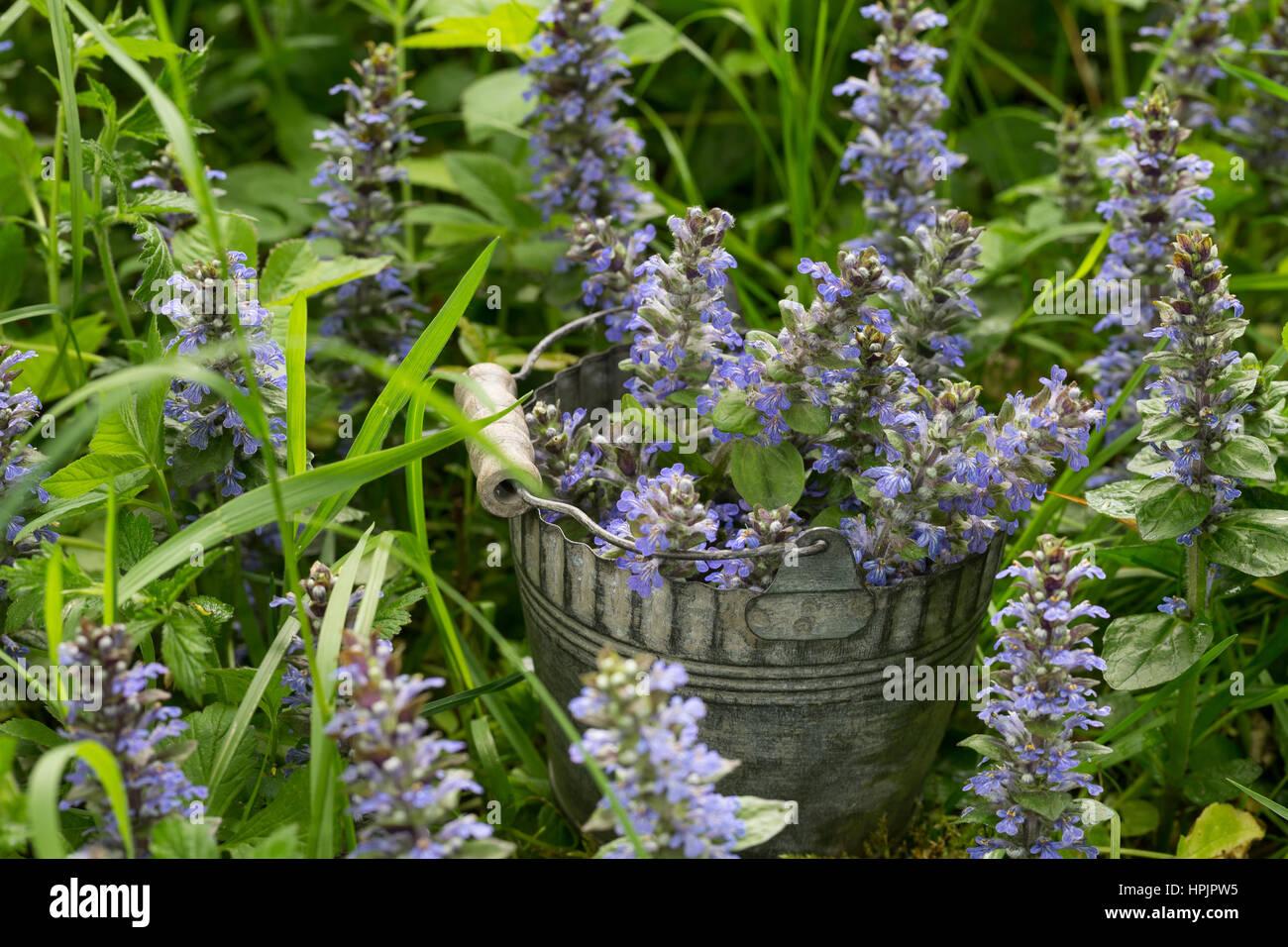 Kriechender Günsel, Ernte, Kräuter sammeln, gepflückte Pflanzen in einem Eimer, Ajuga reptans, bugle, blue bugle, Stock Photo