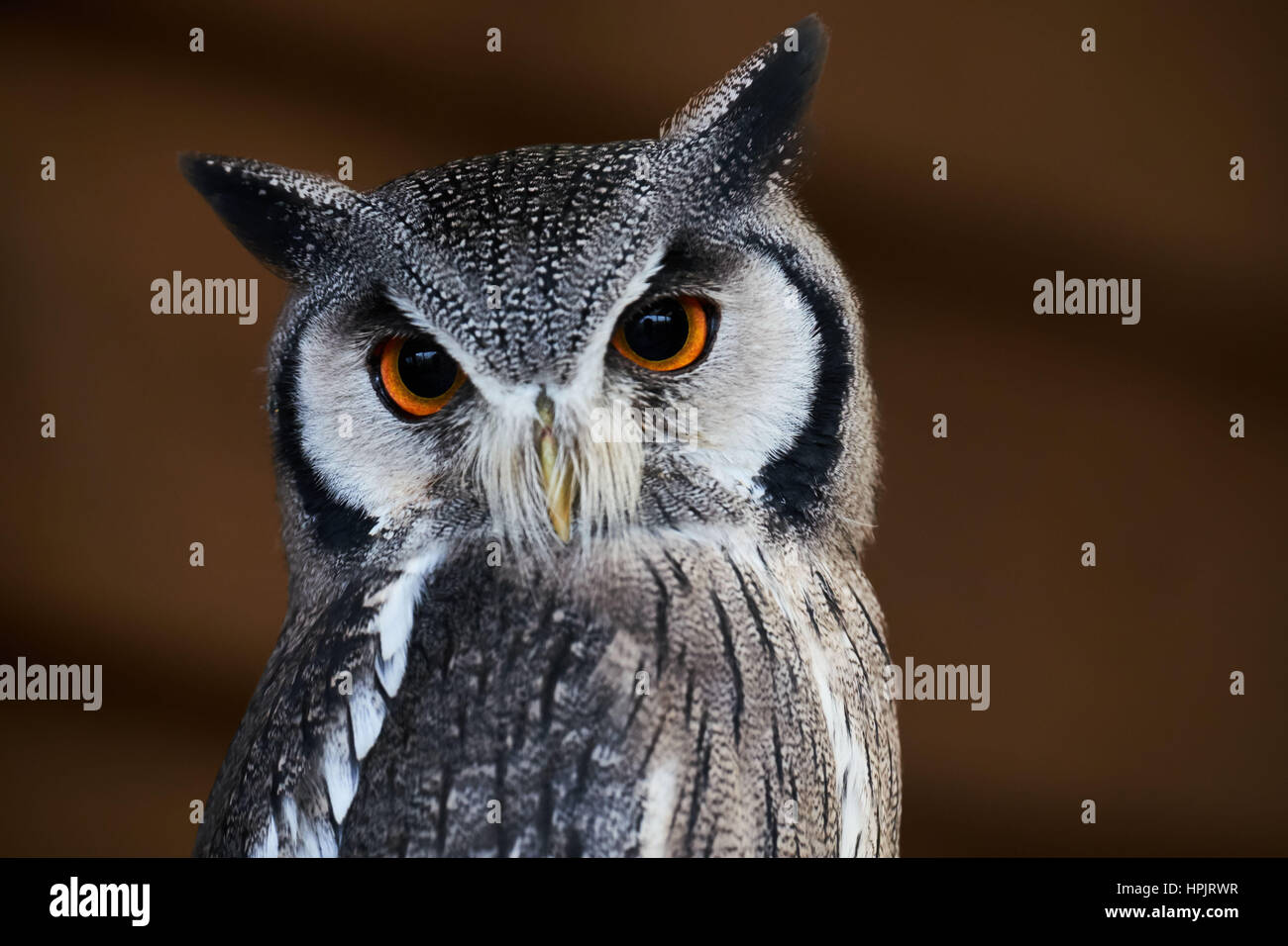 southern faced owl - Stock Image
