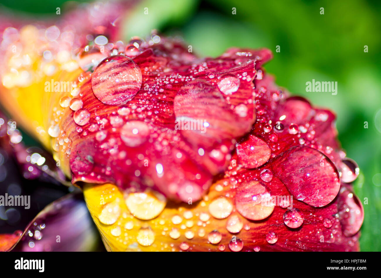 Water Drops on Flower - Stock Image