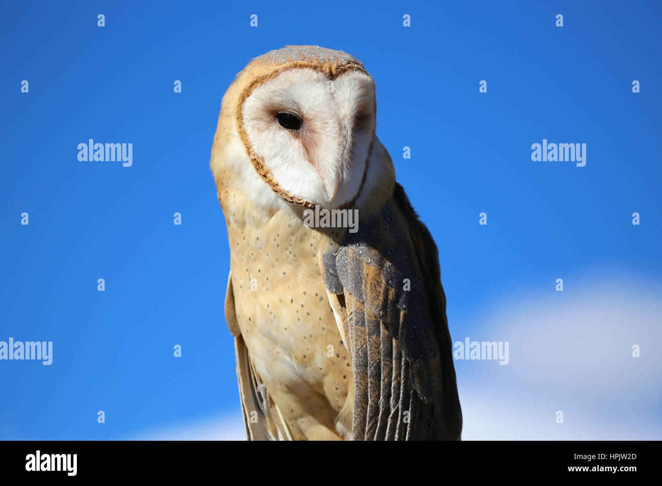 Barn Owl - Stock Image
