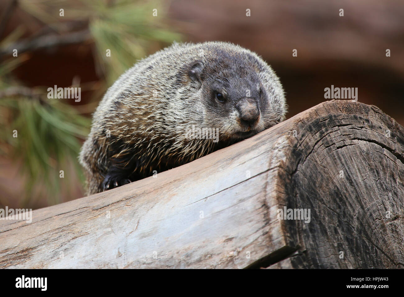 Wood Chuck Stock Photos & Wood Chuck Stock Images - Alamy