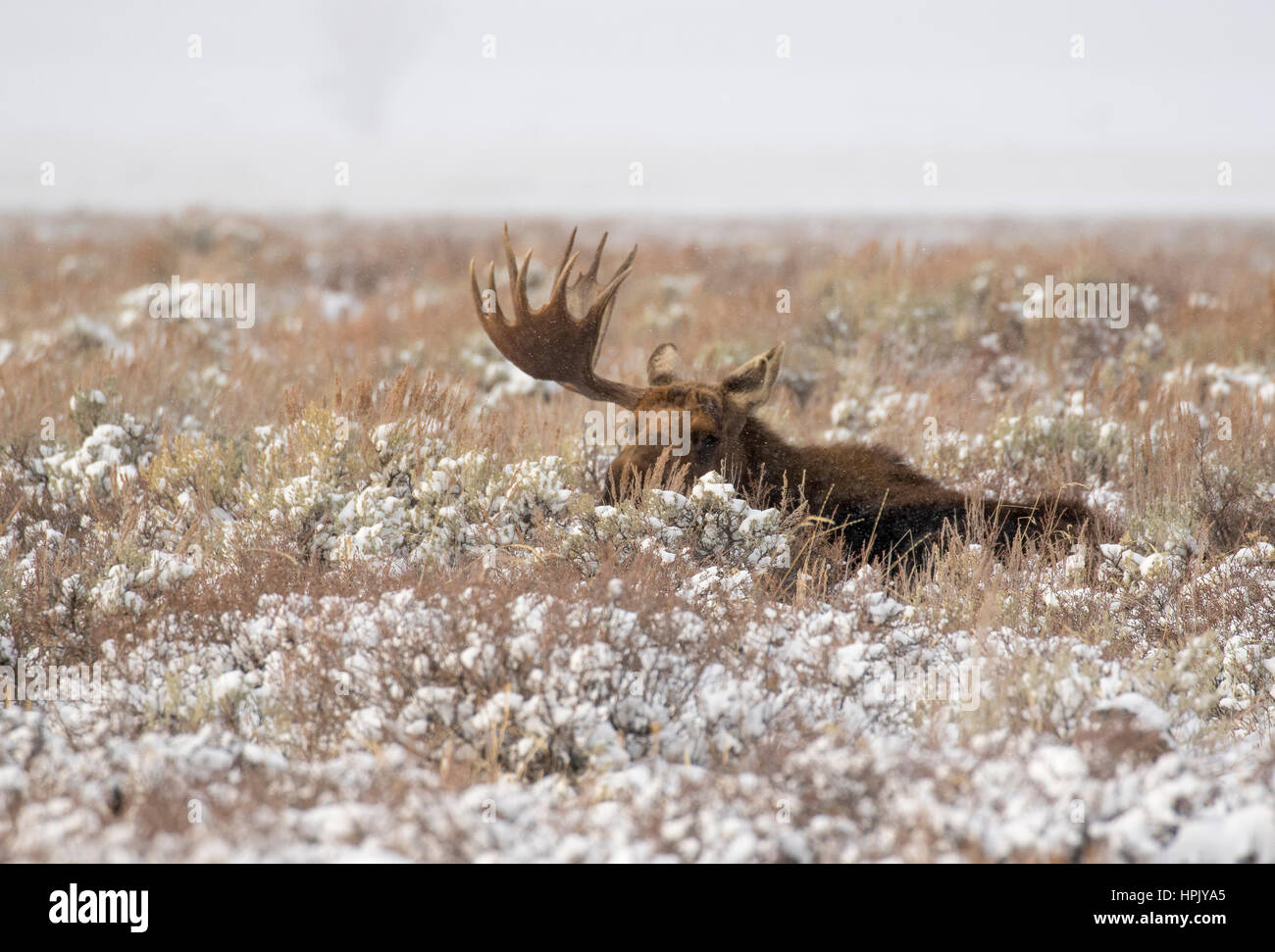 Bull moose with one antler, other antler got lost in fight during rut, ruminating in meadow of sagebrush - Stock Image