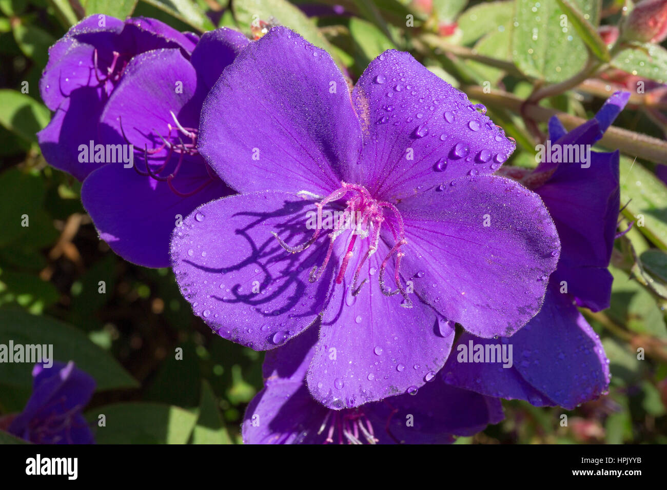 Greymouth, West Coast, New Zealand. Brilliant purple flowers of a glory bush (Tibouchina urvilleana) covered in - Stock Image