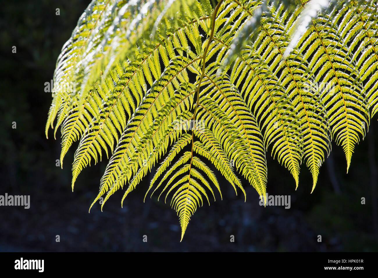 Abel Tasman National Park, Tasman, New Zealand. Backlit frond of a black tree fern (Cyathea medullaris). Stock Photo