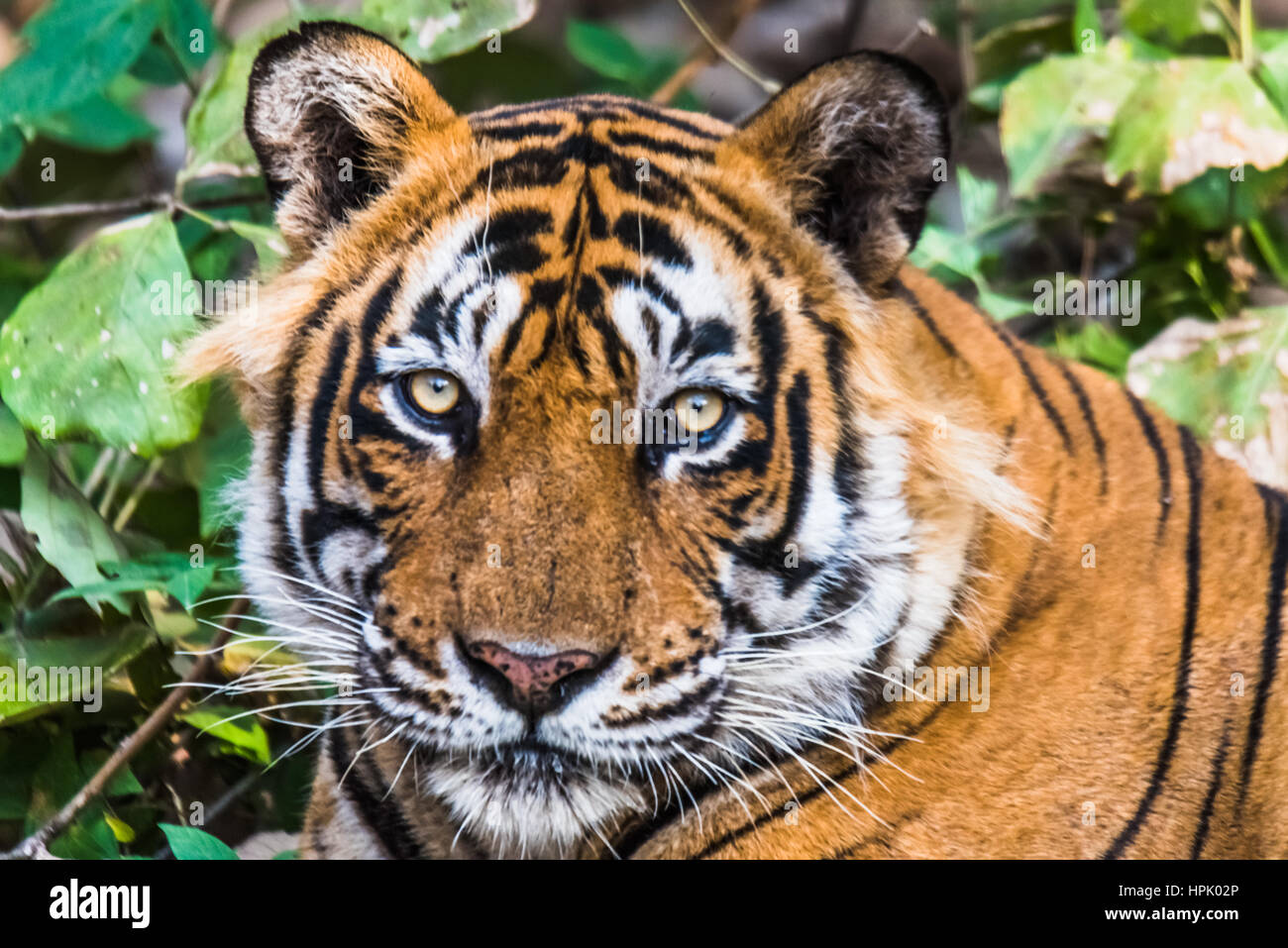 Close encounter with Royal Bengal Tiger named Ustaad - Stock Image
