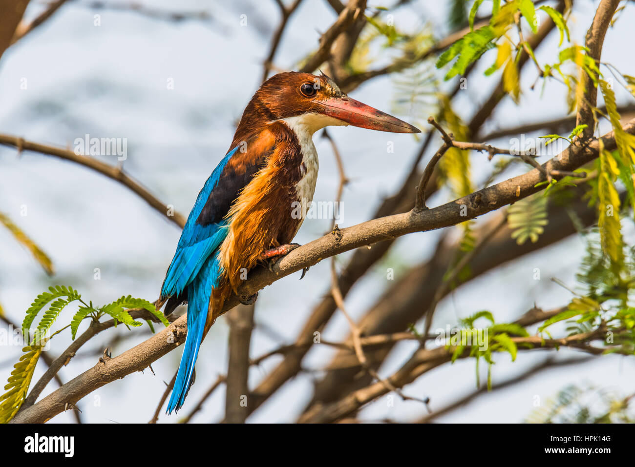 White-throated kingfisher perched - Stock Image