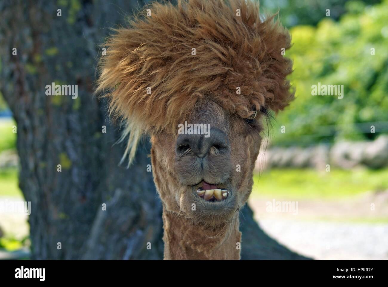 An Alpaca having bad hair day - Stock Image