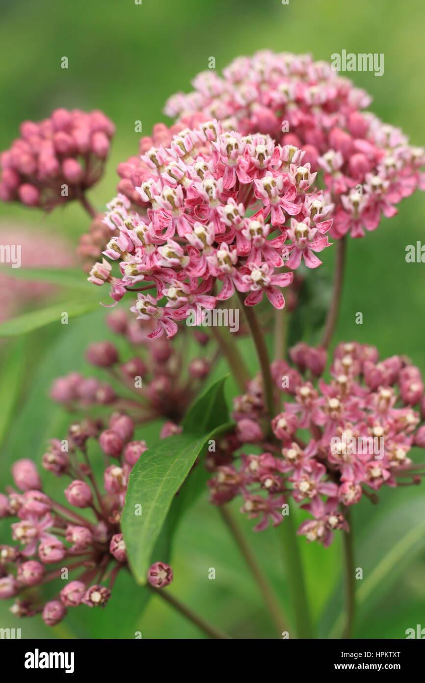 Blooming flowering Milkweed (Asclepias L.) is an American genus of herbaceous perennial - Stock Image
