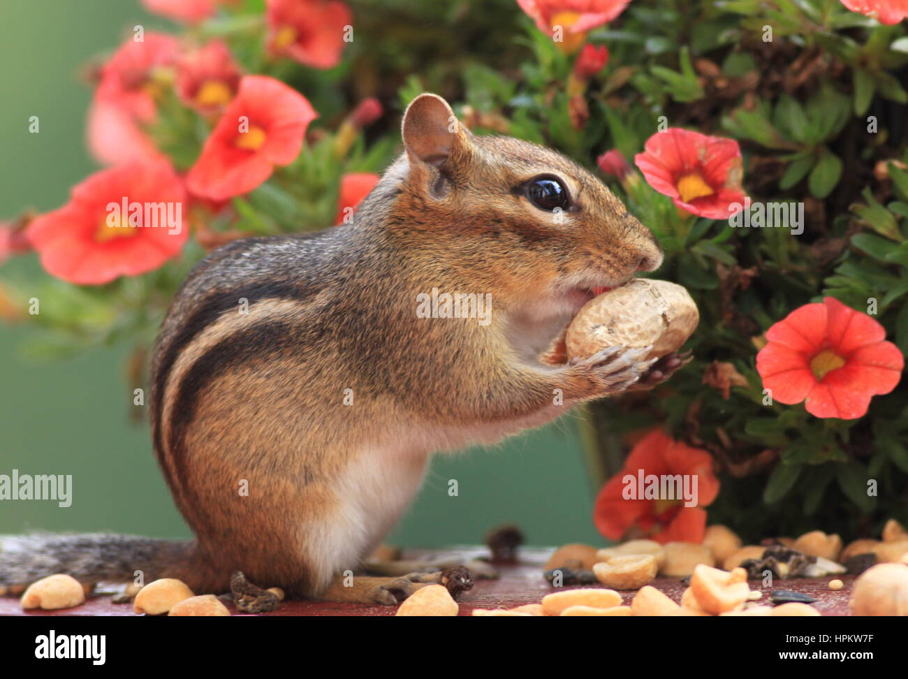 Cute Eastern Chipmunk (Tamias Striatus) stands next to Petunia flower plant and eats peanuts - Stock Image