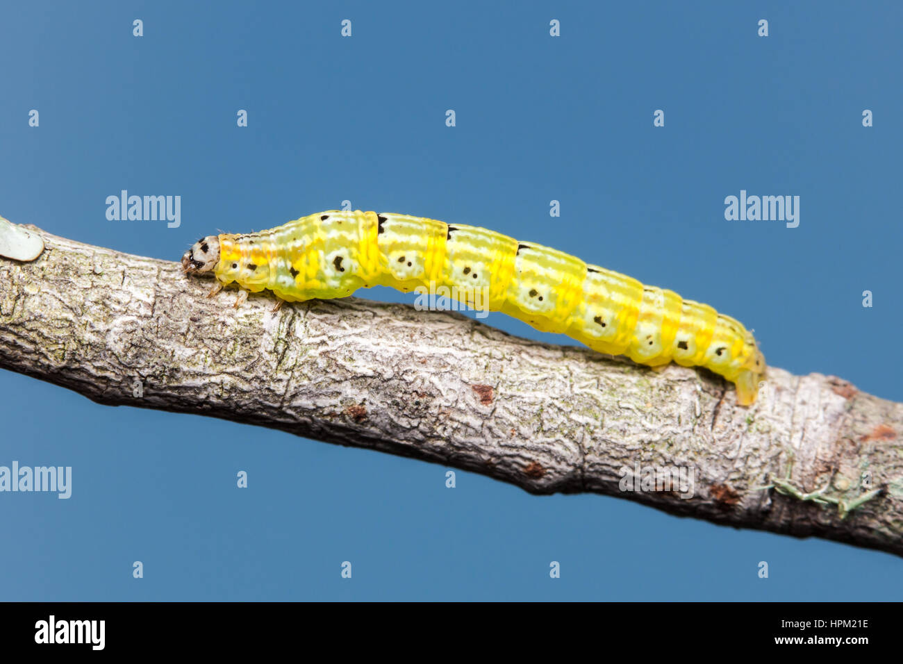 A Geometrid Moth (Episemasia cervinaria) caterpillar (larva) perches on a twig. - Stock Image