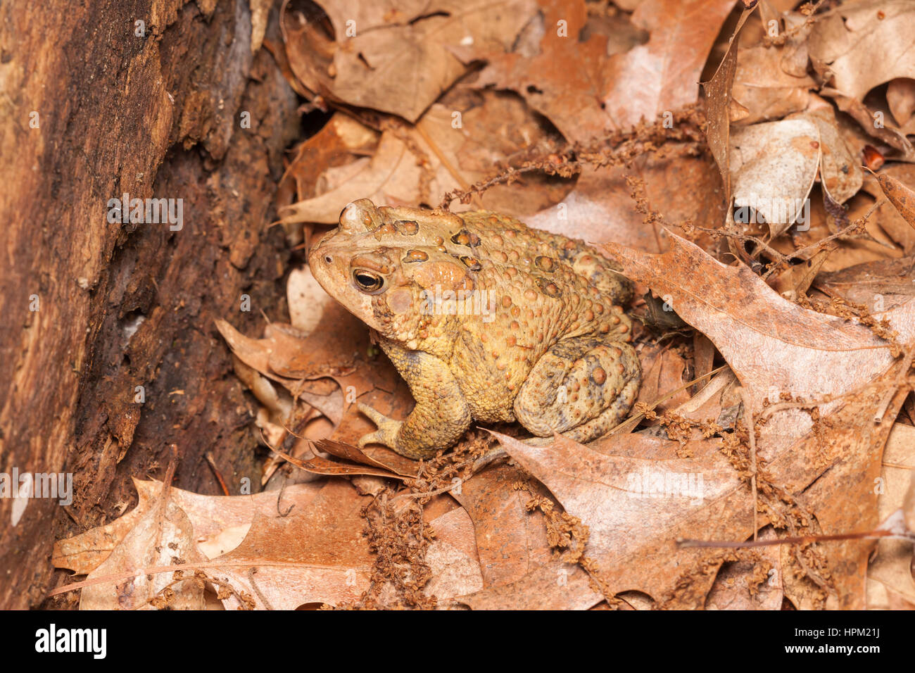 An American Toad, subspecies Eastern American Toad (Anaxyrus americanus americanus), sits among dead leaves on the - Stock Image