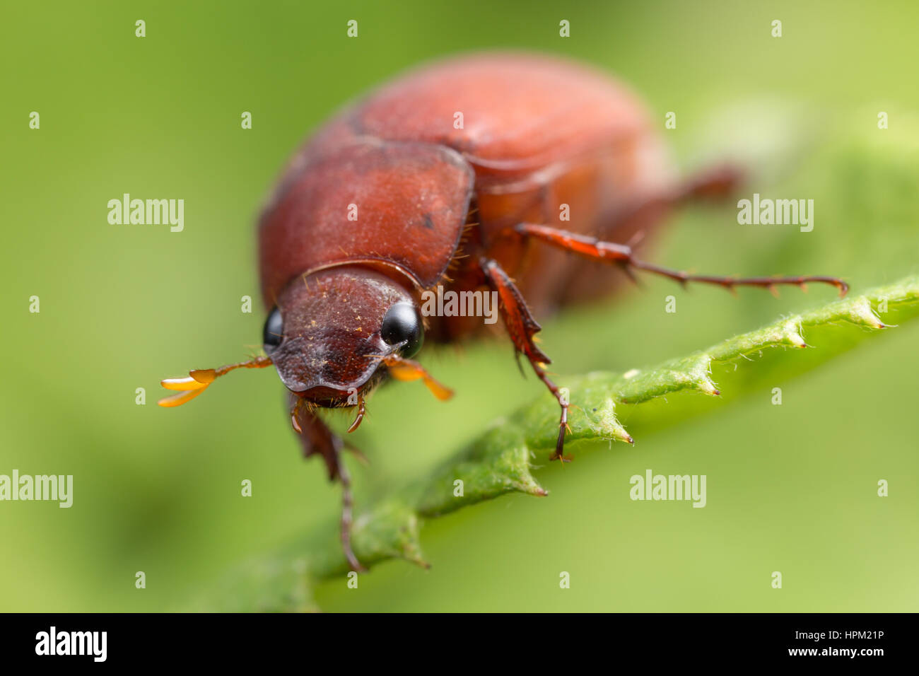 A frontal view of an Asiatic Garden Beetle (Maladera castanea) - Stock Image