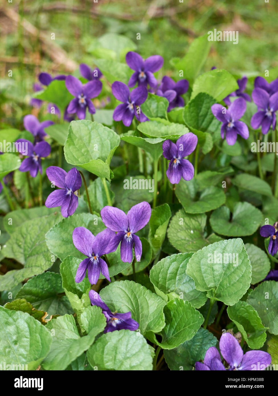 Viola odorata - Stock Image