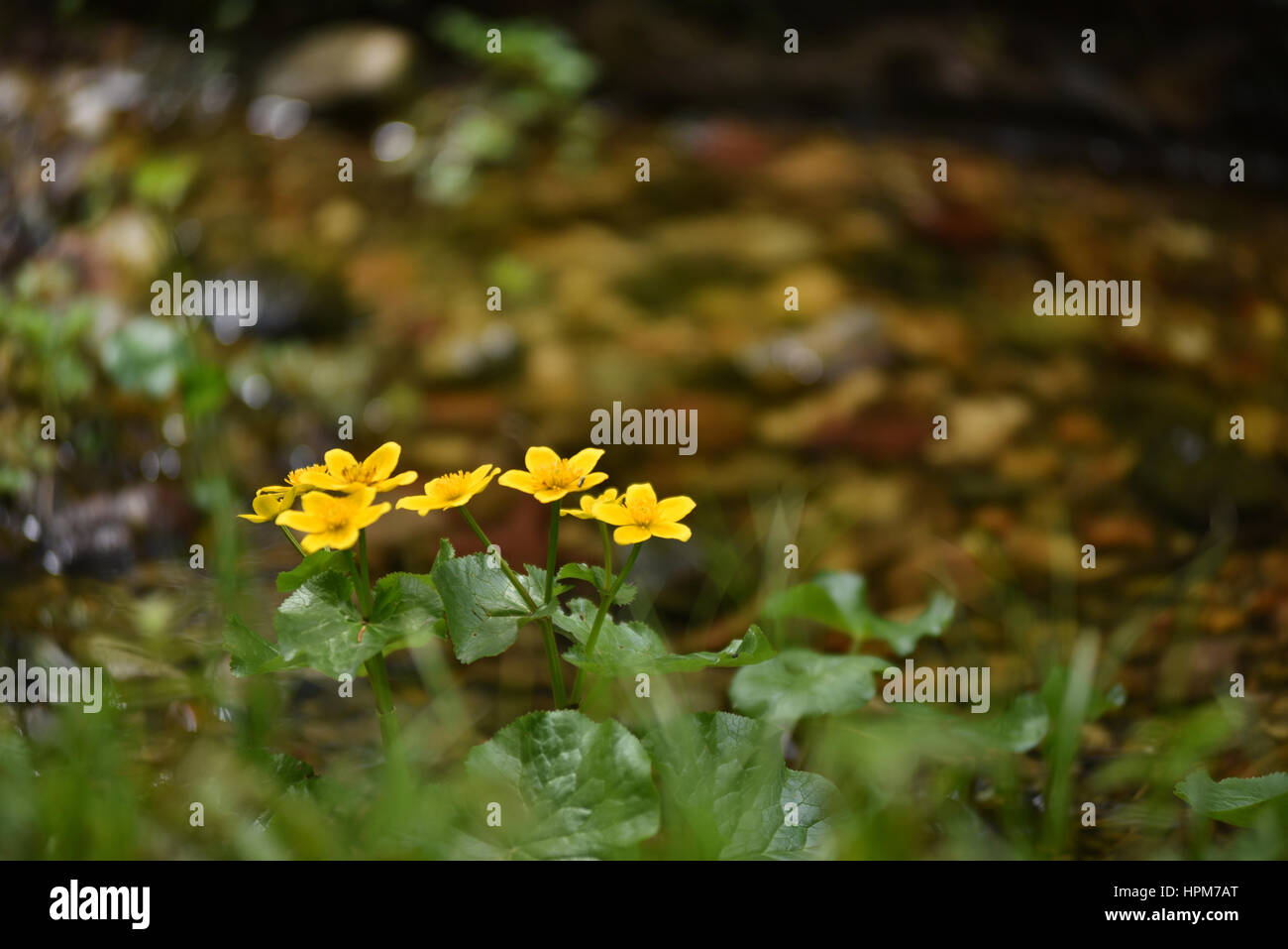 Yellow wildflowers near water stream stock photo 134439840 alamy yellow wildflowers near water stream mightylinksfo