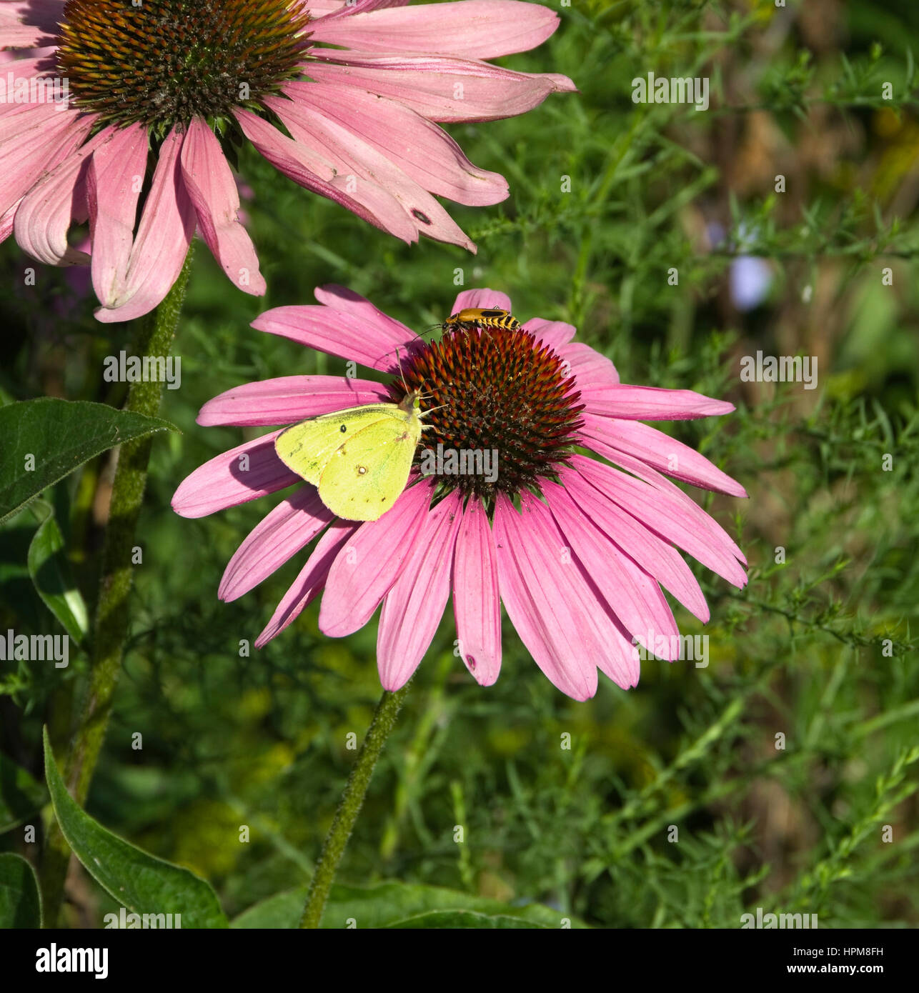Common Sulfur Butterfly, Colias philodice and Goldenrod Soldier Beetle, Chauliognathus pennsylvanicus on Purple - Stock Image