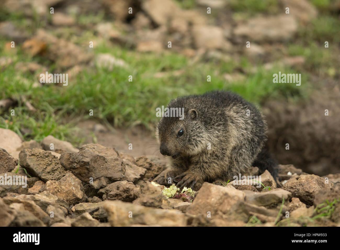 Un jeune marmotton se nourrissant à la sortie d'un terrier. Marmota marmota - Stock Image
