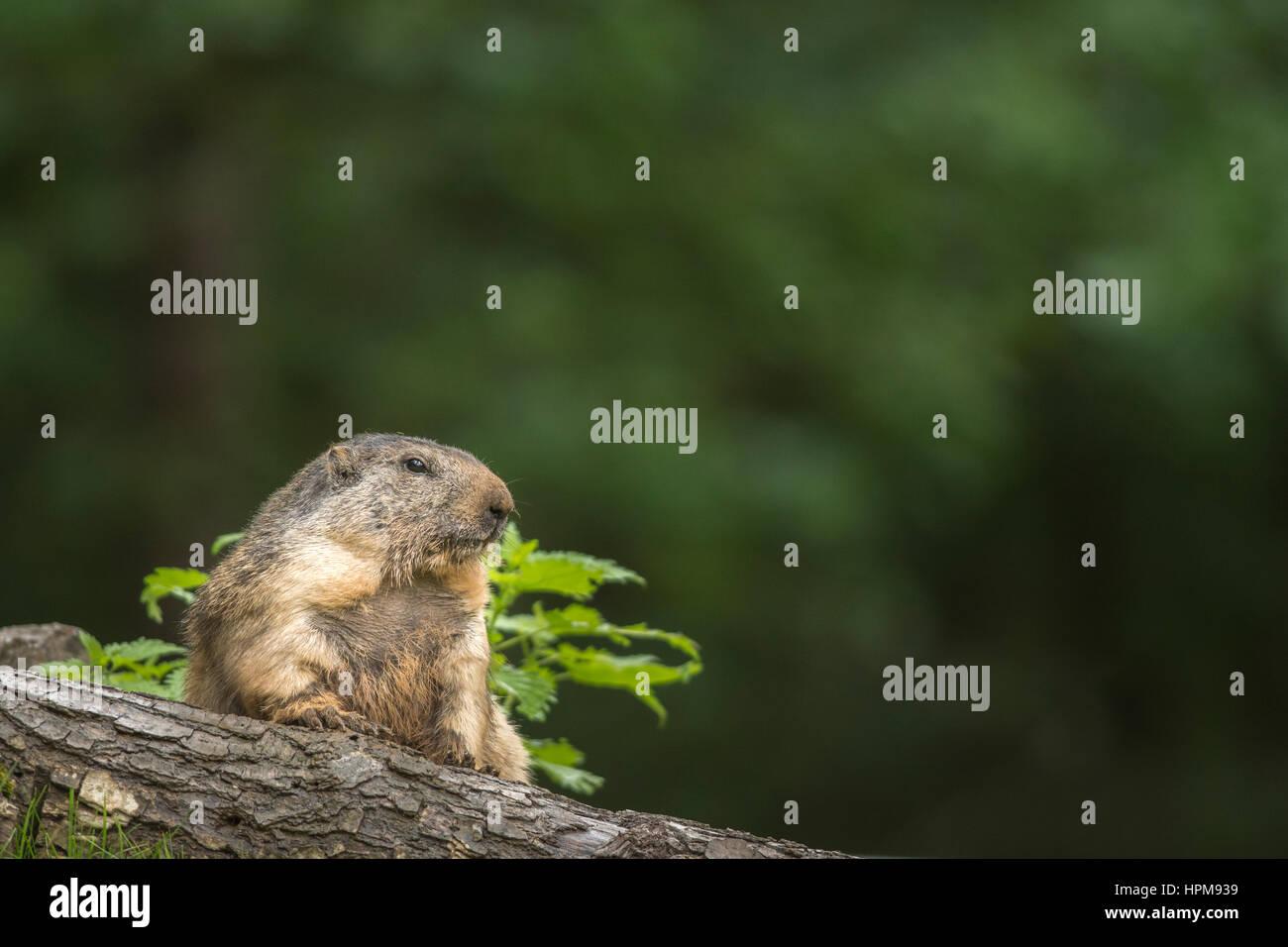 Une marmotte sur un tronc d'arbre couché. Marmota marmota. - Stock Image