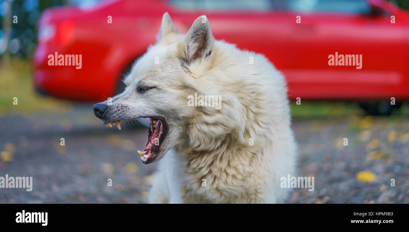 Icelandic Sheep dog mix, Iceland - Stock Image