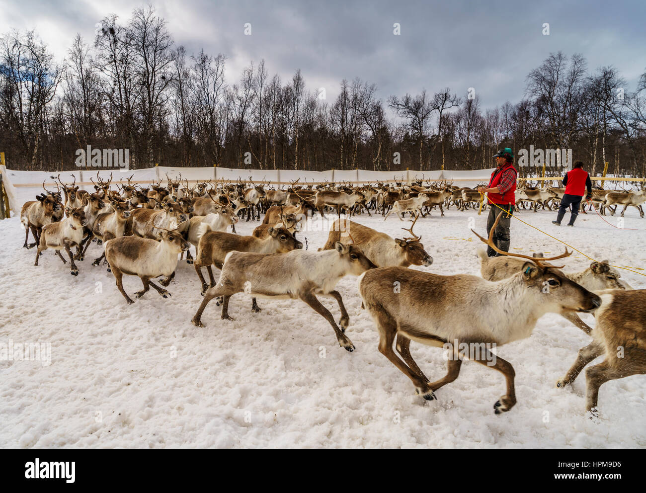 Reindeer Herding, The Laponian Area, a world heritage location, Northern Sweden Stock Photo