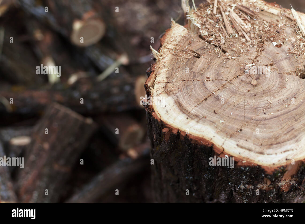 Details of a cut tree, cutting and storing firewood. - Stock Image