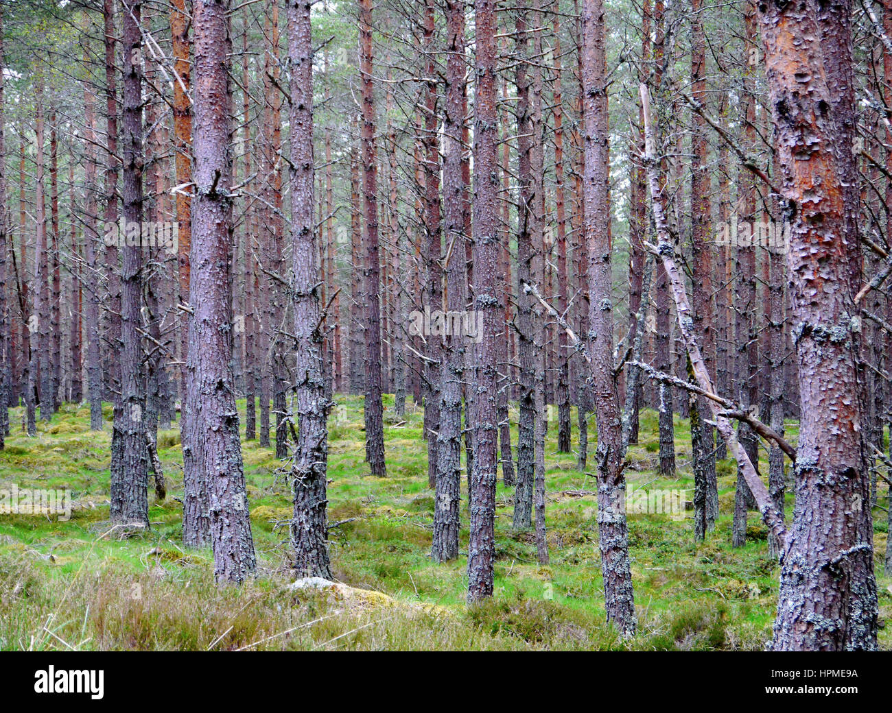 Inshriach Forest on the East Highland Way near Kincraig Speyside in the Scottish Highlands, Scotland, UK. - Stock Image