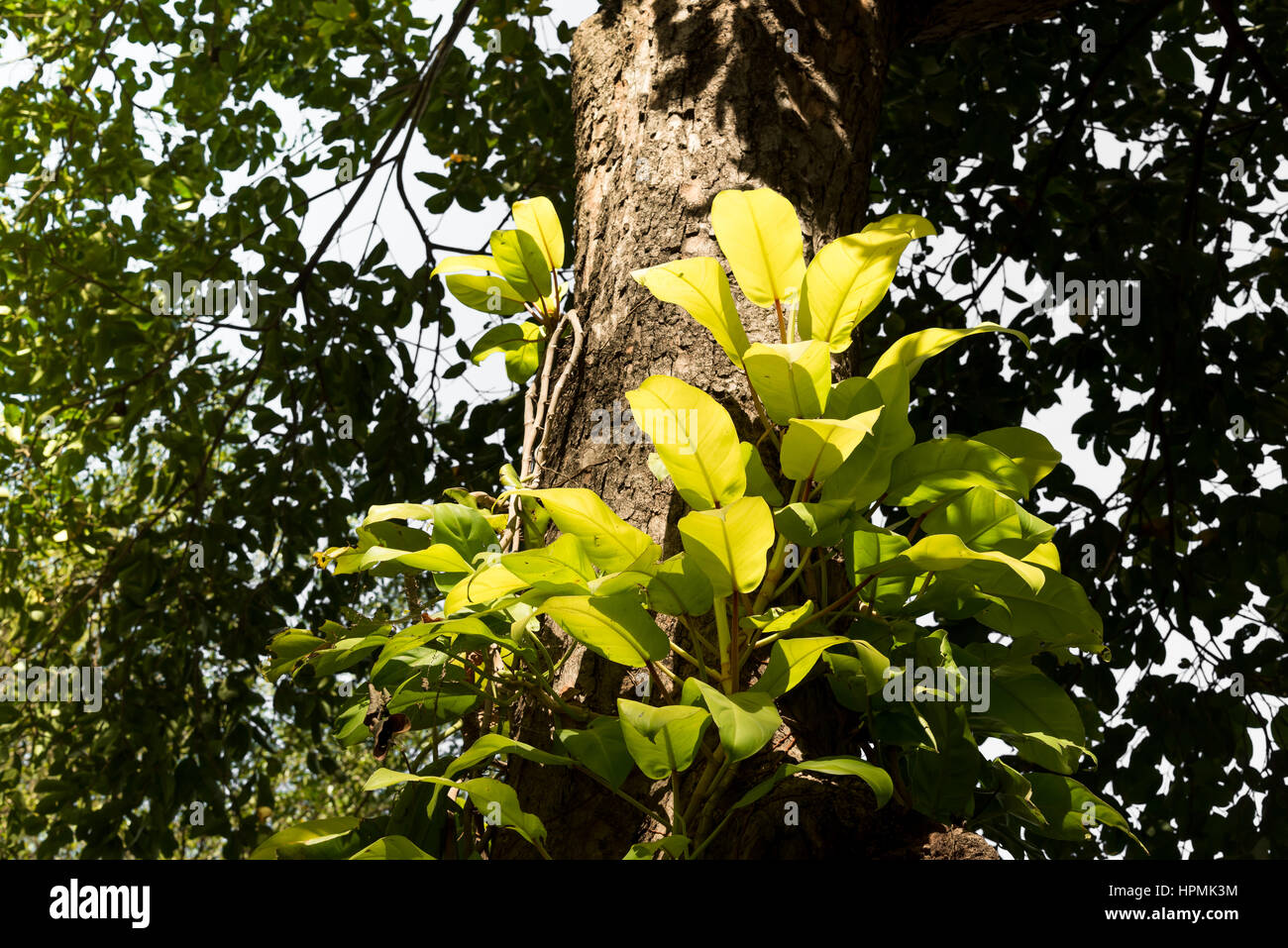 Parasitic plants stock photos parasitic plants stock images alamy - Flowers that grow on tree trunks ...