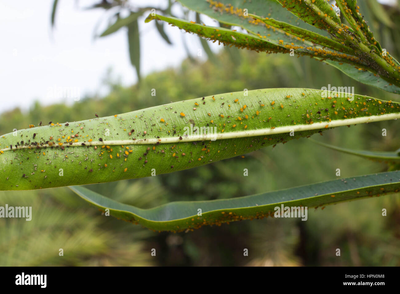 Scale Insects Stock Photos & Scale Insects Stock Images ... Dactylopiidae Scale Leaf