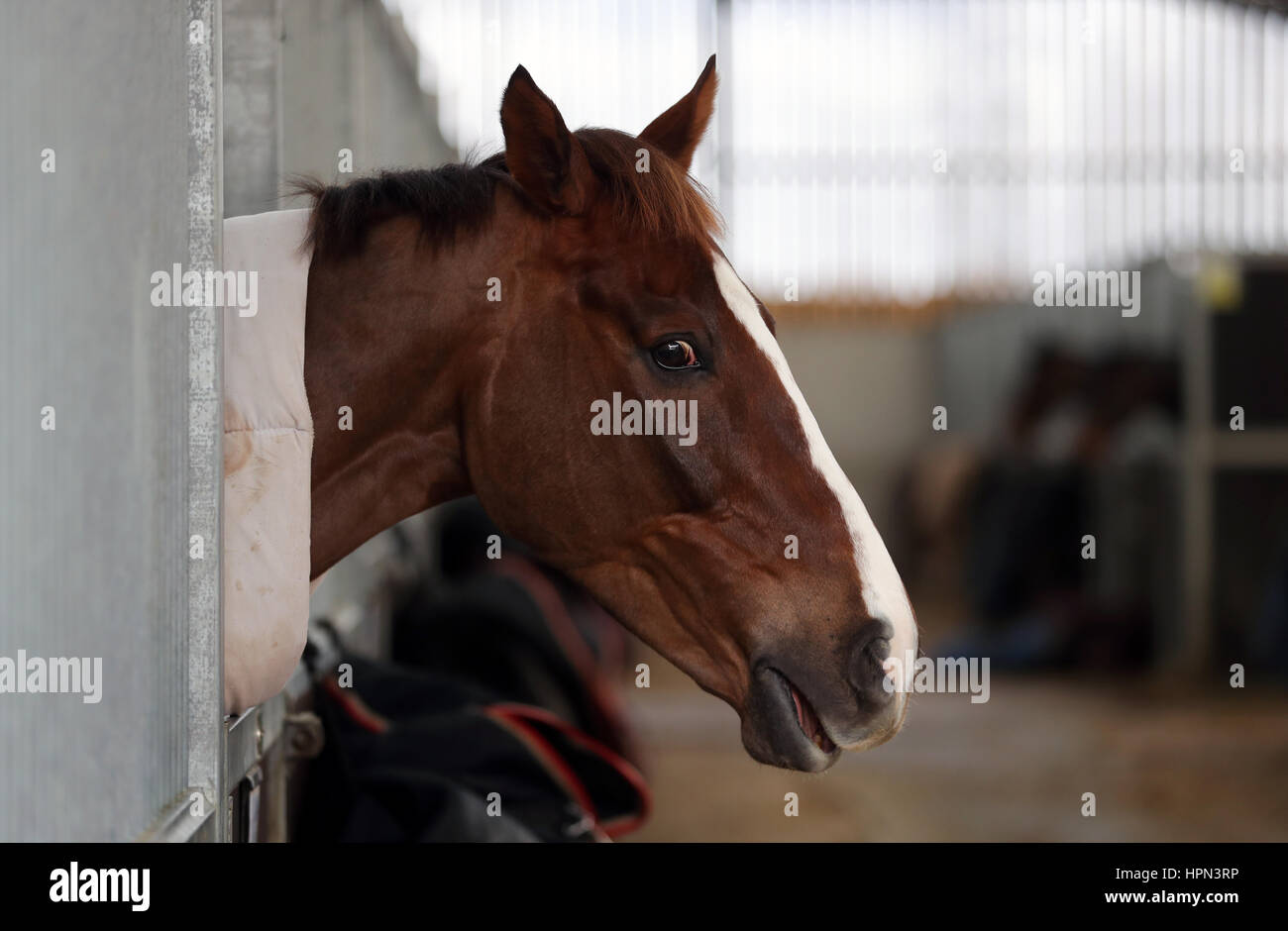 Native River during a stable visit to Colin Tizzard's stable at Milborne Port, Dorset. Stock Photo