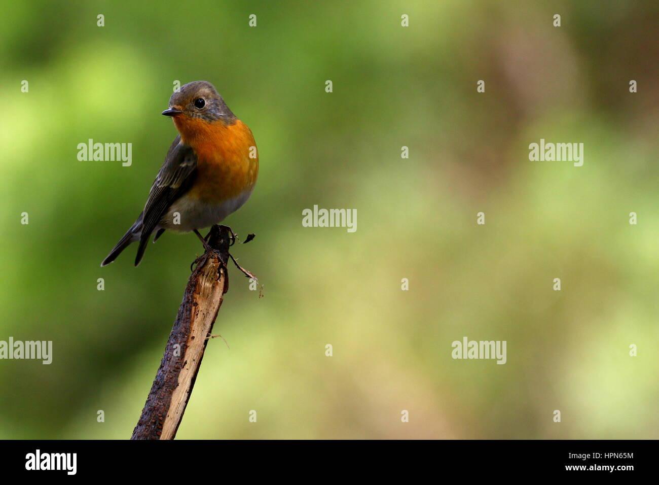 A mugimaki flycatcher. - Stock Image
