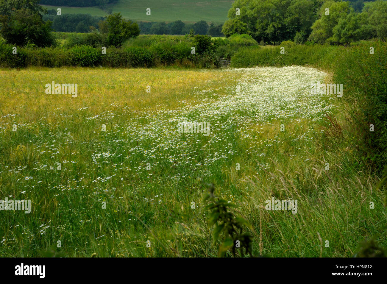 Scentless Mayweed, Tripleurospermum inodorum at the edge of a cultivated field - Stock Image