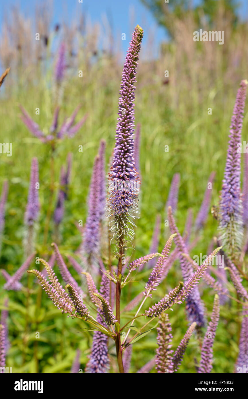 Veronicastrum cultivar 'Fascination' - Stock Image